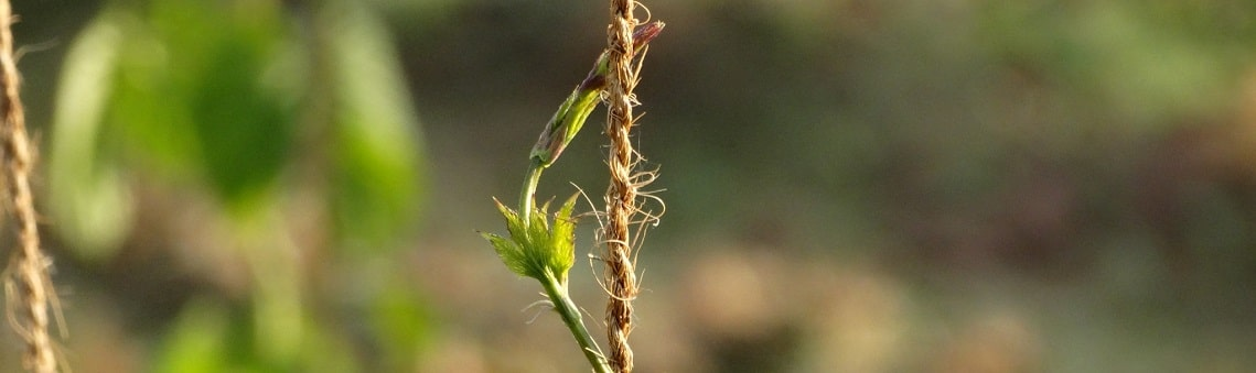 Photo of hops climbing the string. Purely decorative for the credit account page